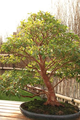 姫しゃら Himeshara (Stewartia) - 盆栽美術館 - bonsai museum