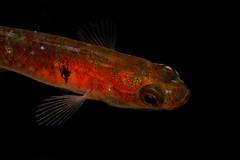 Gobiusculus flavescens (Joao Pedro Silva) Tags: red orange fish portugal portraiture berlengas berlenga grutaazul prnpppberlengas gobiusculusflavescens