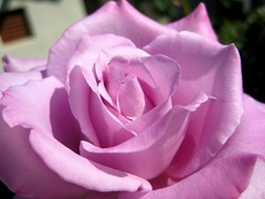 Heirloom Rose (brainy_bee (off for now)) Tags: california art rose lavender trailer ynot languageofflowers awesomeblossoms brainybee