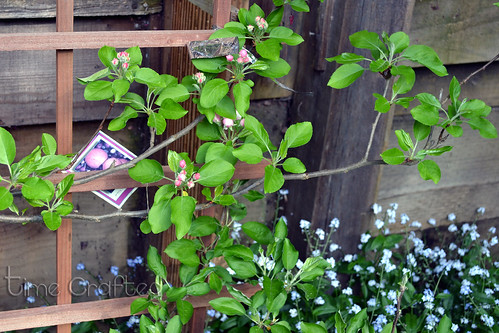 Budding Apple Tree