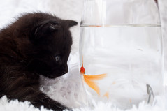 The Force (Leah Fauller) Tags: friends fish cat kitten goldfish enemies