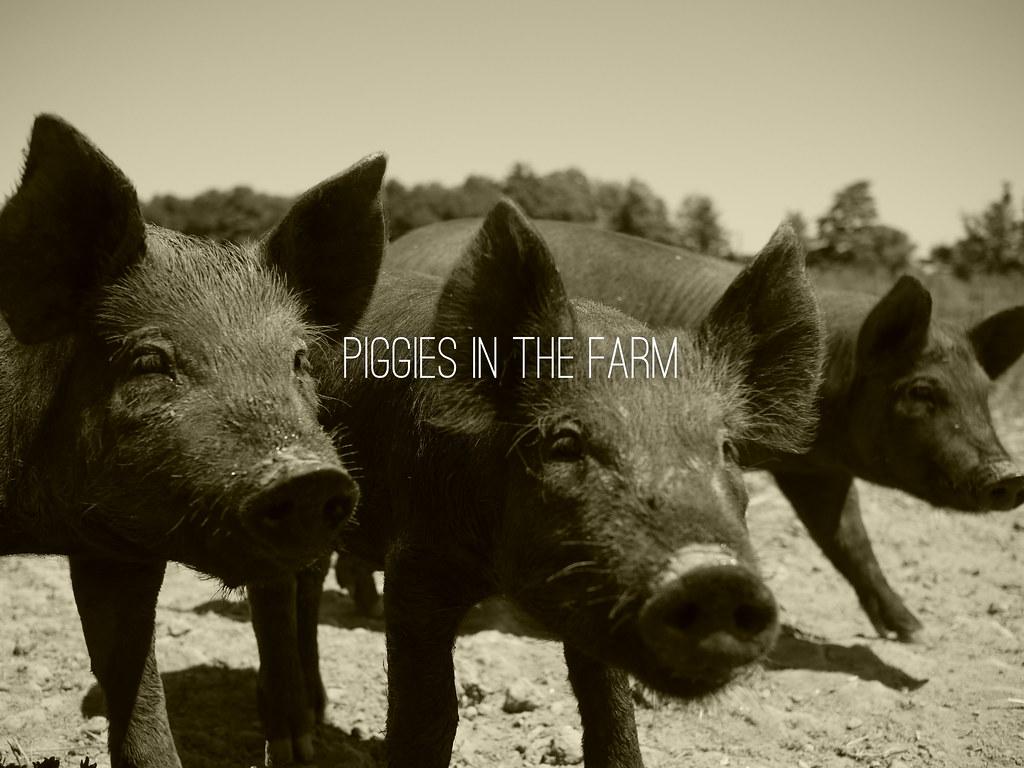piggies in the farm