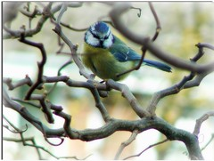 One of my favourite little birds.( Blue Tit ) ( Katie ann. Off more than on.) Tags: niceshot ngc showroom breathtaking amazingnature intouchwithnature sailthesevenseas specanimal catandmoose shieldofexcellence birdsandanimals flickrbronzeaward picturesworthathousandwords feathersbeaksbirds damniwishidtakenthat photographersgonewild awesomepictureawards swiftwings universeofnature coloursoftheheart carlsbirdclub naturescarousel naturesgoldencarousel mygearandme ringexcellence ringofexcellence showroomsbest level1photographyforrecreation level3photographyforrecreation level4photographyforrecreation level2photographyforrecreation photospourtous