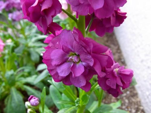 欲求不満の紫シリーズ