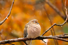 (wisely-chosen) Tags: autumn wild snow bird leaves october branches perched mourningdove cameraraw 2011 canonef70300mmf456isusmlens adobephotoshopcs5extended