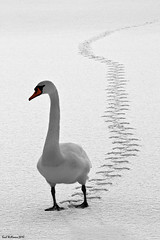 Tracks (Christmas Card) (Shuggie!!) Tags: winter swan trossachs florafauna lochard explored specanimal saariysqualitypictures