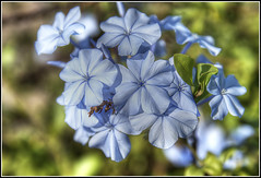 Blue Bloom (David Gilson) Tags: flowers nature nikon gibraltar bluestblue