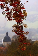 Rowan-tree ´grape´ (:Linda:) Tags: mist church fog germany town leaf branch nebel laub kirche jena thuringia twig blatt pendant rowantree schiefer eberesche similarto vogelbeerbaum resembling ähnlich grapelike likeagrape jenazwätzen ebereschenbaum resemblingagrape