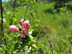 Apple Blossom (Oreo Cakester) Tags: flower apple nature blossom