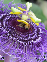 Purple with bee.... (ccindigirard) Tags: brooklyn passionflower honeybee shiningstar aclass royalgroup flowerwatcher colourartaward flowersarefabulous qualitypixels awesomeblossoms purplemania esenciadelanaturaleza flowerswhisperbeauty brigettesbeautifulnature