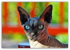 HAPPY BIRTHDAY,MY BOY!!! (mutter2009 *OFF*) Tags: coth nakedcats nikond60 sphynxcats zair hairlesscats bestofcats blacksphynx friendsofzeusphoebe