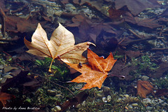 floating (anbri22) Tags: fall water colors leaves foglie floating fallen acqua autunno anbri onthewater sullacqua