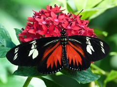 Doris Longwing / Laparus doris viridis (annkelliott) Tags: flowers canada macro calgary nature closeup butterfly insect lumix pattern panasonic alberta pointandshoot perched calgaryzoo topside dorislongwing tropicalbutterfly beautyinnature southernalberta wingsopen beautifulexpression annkelliott dmcfz40 fz40 enmaxconservatory laparusdorisviridis panasonicdmcfz40 p1160283fz40