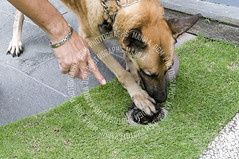 Picture of a canine being guided by the handler to search for termites (Kuya D) Tags: dog search working large canine smell belgian sniff breed sniffing malinois find pest termite k9 sniffer detection agile trained obedient herding detect mechalaar