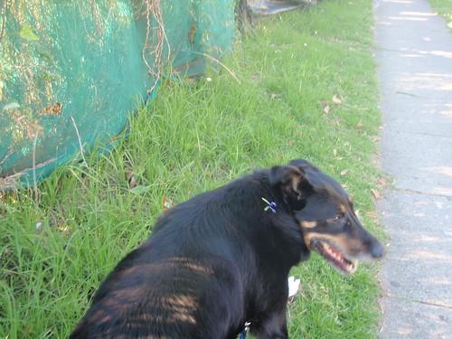 Gsd Dog Rescue Nsw