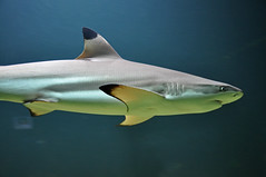 Blacktip Reef Shark (Truus & Zoo) Tags: fish animals zoo aquarium belgium antwerpen dierentuin blacktipreefshark carcharhinusmelanopterus nearthreatened zwartpuntrifhaai