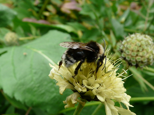 Mining Bee (Andrena cineraria) by Peter Orchard