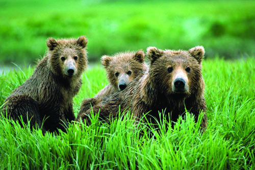Alaska Brown Bears.jpg