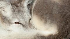 arctic fox, dovrefjell, Norway. (Pieter-Jan D'Hondt) Tags: zweden dovrefjell noorwegen muskusossen poolvossen