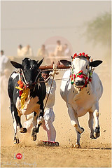 Expecting the world to be fair to you because you are a good person is like expecting the bull not to charge because you are a vegetarian. (Muhammad Fahad Raza) Tags: pakistan sport race canon festive is action culture bull ox sharp fateh ii angry l usm dust oxen 70200 f28 kot jang bullrace fatehjang cultureofpakistan cultureofpunjab canon70200f28lisiiusm kotfateh sportsinpakistan