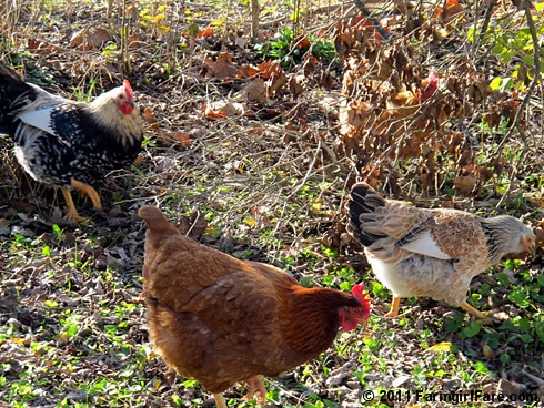 Chickens having lunch on the go - FarmgirlFare.com