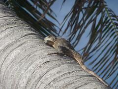 Iguana, Contoy