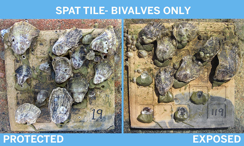 bivalves-2box