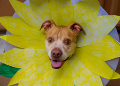 Sunflower Nesta (shiftdnb) Tags: dog flower happy costume nikon dressup pitbull sunflower fullframe nikkor fx k9 amstaff americanstaffordshireterrier d3s