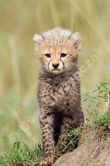 Cheetah babies (Uwe_Skrzypczak) Tags: africa animals canon babies kenya wildlife safari mara cheetah masai cheetahs masaimara geparden