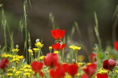 red (kezwan) Tags: red flower kezwan