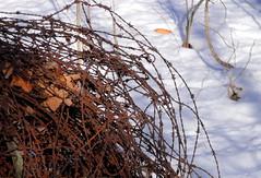 the fence is down (dmixo6) Tags: november winter canada barbedwire pow muskoka barbwire dugg dmixo6