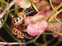 Choerocoris paganus (terraincognita96) Tags: australia wa hemiptera scutelleridae paganus choerocoris geeraningrock