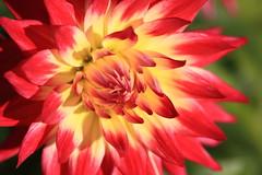 Dahlia / () (TANAKA Juuyoh ()) Tags: dahlia flower tokyo high blossom hires resolution 5d  hi  res markii     choufu  jindaishokubutsukouen