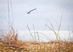 Heading to a warmer beach (Nancy Rose) Tags: ocean sky beach grass seagull dunes