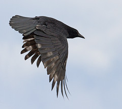 Carrion Crow (Rich from Huntley) Tags: bird crow carrion corvid
