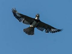 Belted-Kingfisher (Anthony (Tony) Clark) Tags: florida kingfisher birdsinflight maxis southernireland salteeisland freedomtosoarlevel1birdphotosonly
