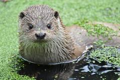 European Otter (Truus & Zoo) Tags: netherlands animals zoo kerkrade dierentuin gaiapark lutralutra nearthreatened europeanotter europeseotter