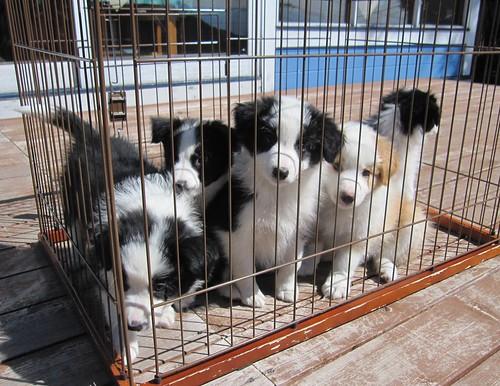 ベランダの子犬達2011.10.4 by Poran111