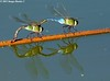 Dragonflies - Bayou Courtableau, Louisiana (Image Hunter 1) Tags: reflection nature water wings louisiana branch dragonflies dragonfly bayou swamp marsh t2i floatingbranch bayoucourtableau canont2i