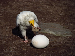 Gonna Crack This Egg (JourneySX30) Tags: bird netherlands birds stone canon flying egg nederland vogels crack egyptian vulture ei vogel steen breken kraken neophron percnopterus aasgier egyptische abigfave sx30 canonsx30is canonsx30