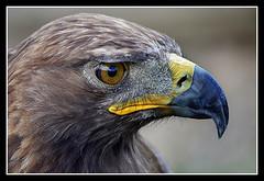 Águila Real (Aquila chrysaetos) (jemonbe) Tags: steinadler goldeneagle aquila rapaz águila aquilachrysaetos chrysaetos águilareal aigleroyal aquilareale águiladorada jemonbe bestcapturesaoi mygearandme mygearandmepremium artistoftheyearlevel3 artistoftheyearlevel4 musictomyeyeslevel1