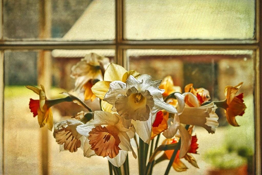 Daffodils on a windowsill