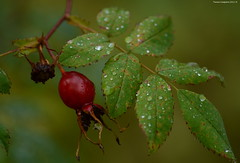 Rose Hips (Photography Through Tania's Eyes) Tags: canada nature water leaves rain photography photo drops berry flora nikon photographer berries bc image britishcolumbia photograph waterdrops westbridge copyrightimage taniasimpson littledipperhideawaycampground okanaganboundary