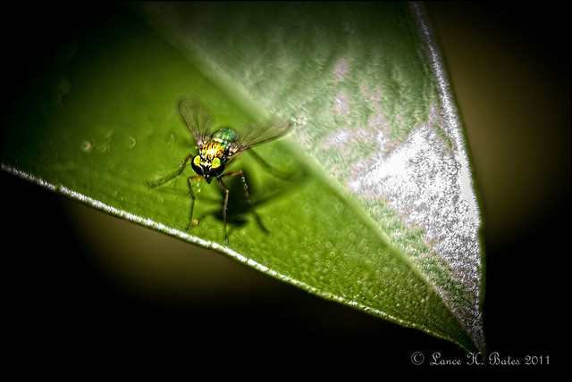 20111018 Macro of iridescent coloured fly