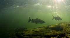 Underwater Solitude (Fish as art) Tags: sunlight fish swimming underwater whitefish northern sunbeams underwaterfishpics