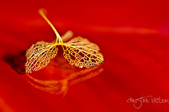 No arsenic just old lace....part I (Christine Kapler / PASSED AWAY) Tags: red bokeh lace hydrangea redbackground nikkor105mmf28vr nikond300 hydrangeapetals