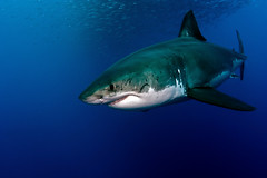 GWS6Oct26-11 (divindk) Tags: shark diving greatwhiteshark cagediving guadalupeisland diverdoug