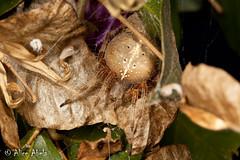 Orb Weaver (Araneus gemma) (aliceinwl1) Tags: arachnid arachnida araneae araneidae araneomorphae araneus araneusgemma arthropod arthropoda ca california entelegynes santabarbaracounty gemma orbweaver spider truespider
