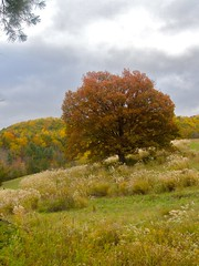 Treasured Tree (White Oak; Quercus alba) (mystuart) Tags: autumn trees colors pasture crown ornamental miscanthus invasive whiteoak barnardsville sinensis chinesesilvergrass flatcreek maidengrass bigivy melystu treasuredtree