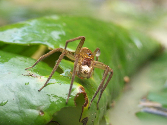 抱卵囊的蜘蛛